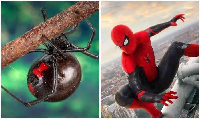 """玻利维亚3名年幼兄弟想变成蜘蛛人 竟主动给剧毒""""黑寡妇""""蜘蛛咬"""