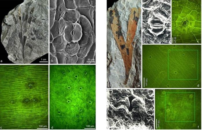 银杏植物化石揭示对侏罗纪古大气CO2浓度重建