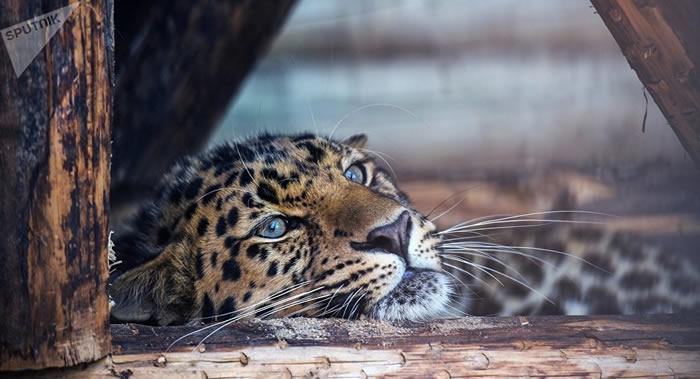 俄罗斯滨海边疆区学者首次编制稀有远东豹谱系