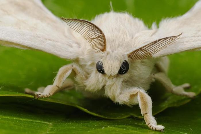 雄蚕蛾触角上的接收器能够接收雌蚕蛾的费洛蒙。 PHOTOGRAPH BY FABIO PUPIN, MINDEN PICTURES