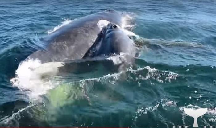 澳洲西澳弗林德斯湾母座头鲸遭5头雄鲸强逼交配 一群海豚及时相救