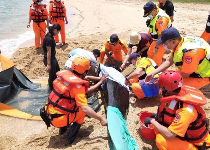 短肢领航鲸搁浅澎湖尖山沙滩 台岸巡队挖沟渠助返大海