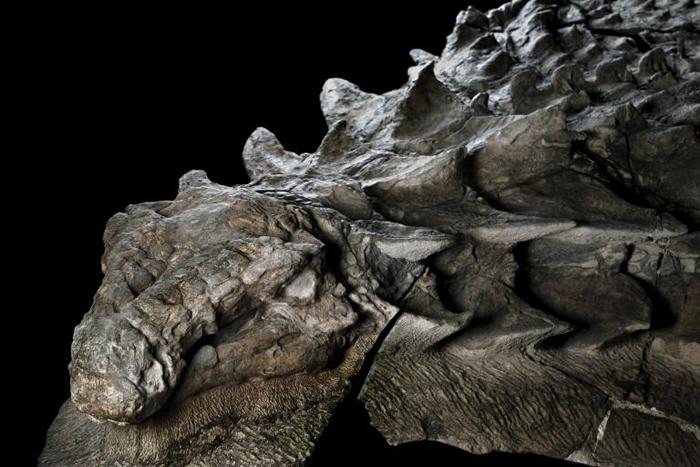 北方盾龙享用完最后一餐过了几小时以后,这只恐龙不知为何被冲刷入海。 它被埋在现今亚伯达省东北部的海底沉积岩中,它的铠甲──还有它胃中的内容物——的精致细节因此得