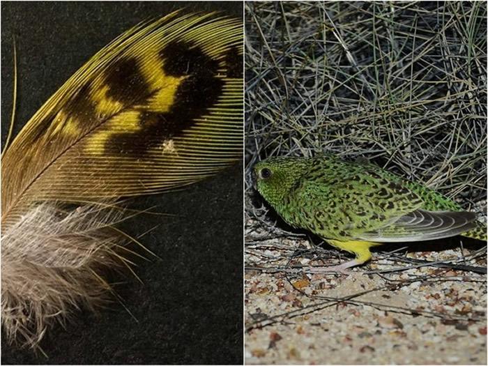 最新研究指出澳洲特有种夜鹦鹉濒临灭绝的原因