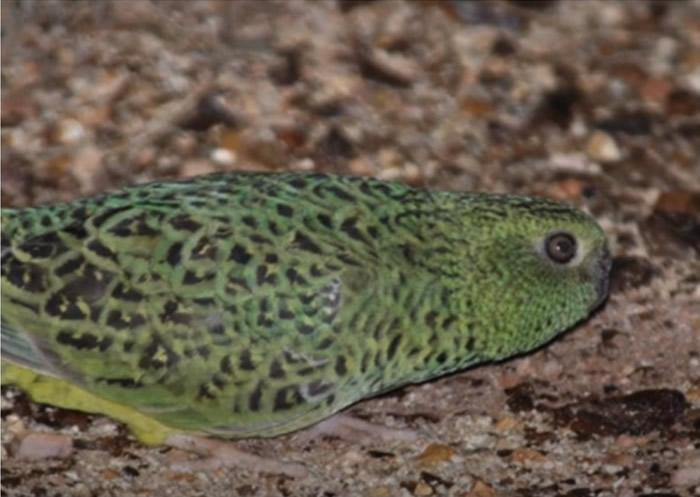 研究指澳洲夜鹦鹉视力不佳或成极度濒危原因