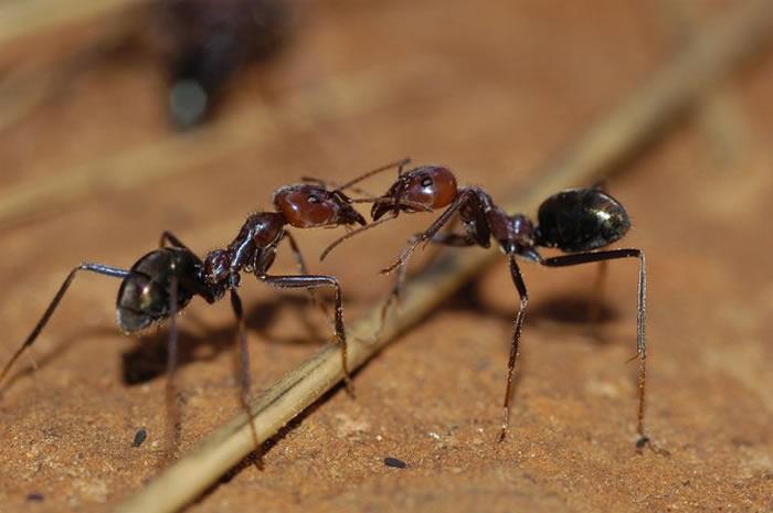 英国《植物学纪事》:新研究发现澳大利亚一种彩烟木属植物可让蚂蚁代替蜜蜂来授粉