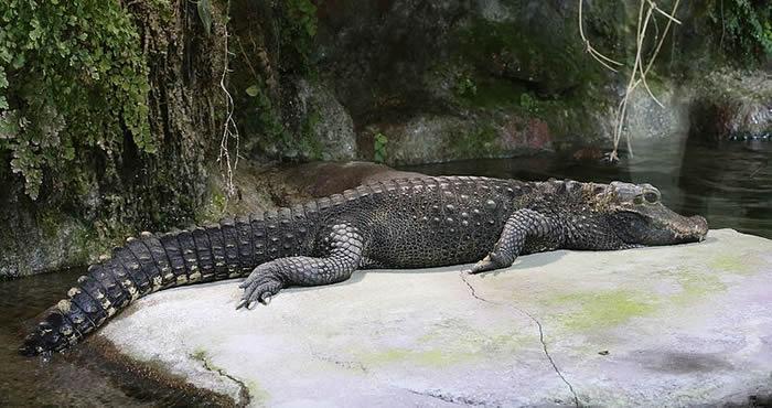 """鳄鱼被称为""""活化石"""",它们自恐龙时代以来基本没有改变过。"""