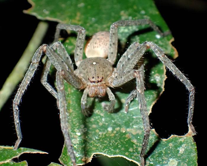 德国蜘蛛学家彼得•贾格将新物种巨型蜘