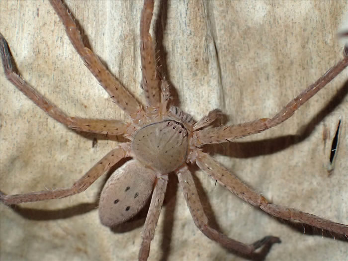 """德国蜘蛛学家彼得•贾格将新物种巨型蜘蛛命名为""""格雷塔•通贝里"""""""