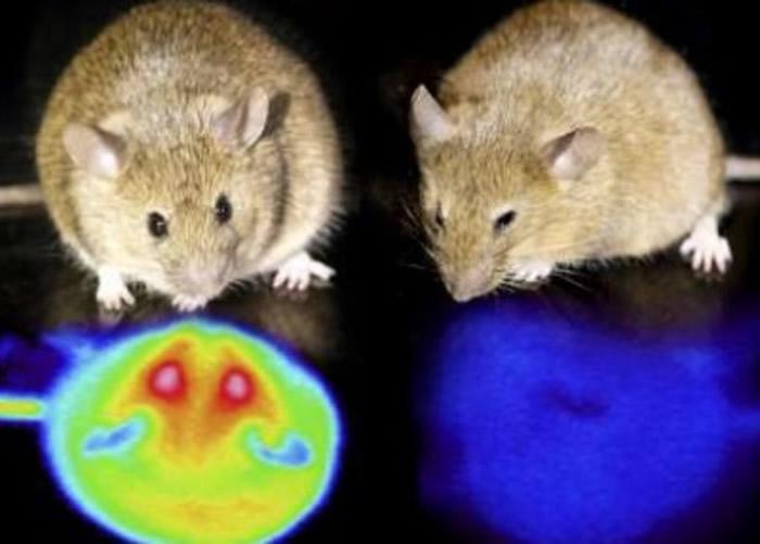 日本专家成功令实验鼠冬眠 或有助研究器官保存