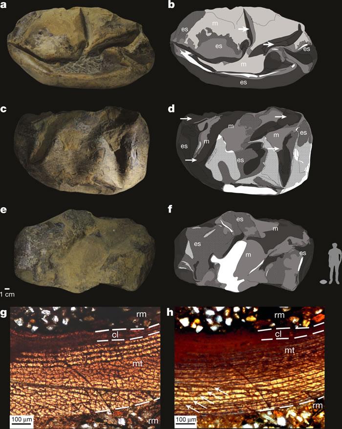 英国《自然》杂志:新研究认为最初的恐龙所产的蛋可能是软壳蛋