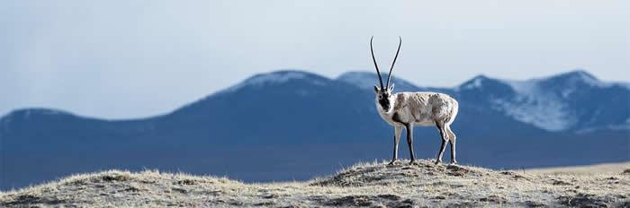 成年藏羚羊通过一种不寻常的适应方式克服了高海拔西藏高原的氧气不足
