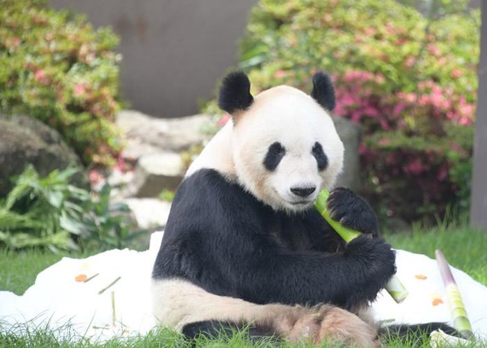 """日本和歌山县白滨町""""冒险世界""""动物园育15子女的大熊猫""""永明""""欢庆父亲节"""