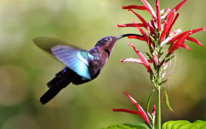 美国普林斯顿大学的科学家报告野生蜂鸟能看到