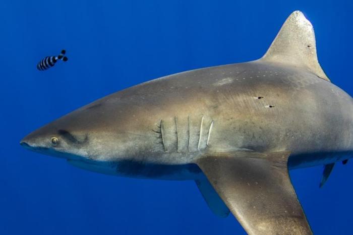 一条2.1米长的远洋白鳍鲨身上带有高尔夫球大小的吸盘痕迹,很有可能是一只乌贼的触手所留下的。 有多种大型乌贼居住在太平洋深海处,包括巨乌贼。 PHOTOGRAP