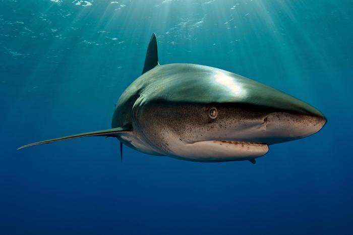 一条远洋白鳍鲨(并非文中与乌贼相遇的那条)在巴哈马的水域悠游。 白鳍鲨通常在浅水域狩猎,让这次的发现更引人入胜。 PHOTOGRAPH BY BRIAN J.