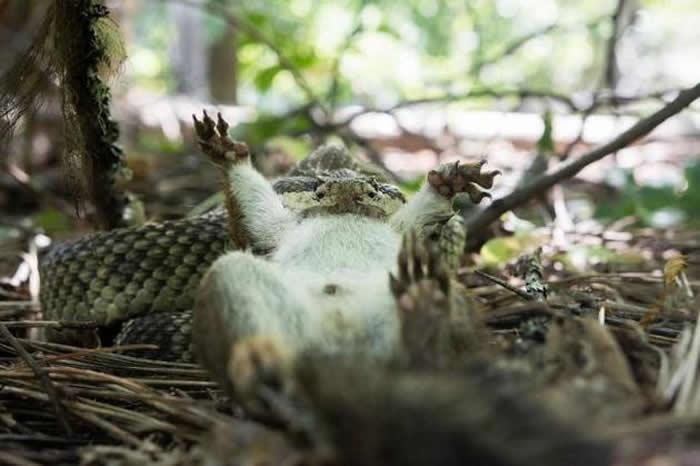 一条响尾蛇正在捕杀一只松鼠。
