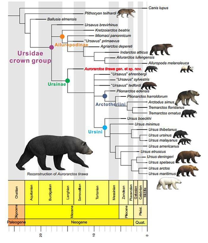 提拉瓦曙熊的系统发育位置(江左其杲 供图)