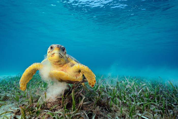 一只赤文档龟在吃海草。 这种动物会搅起海床泥沙,能将数万只搭便车的微小动物载到自己身上,例如线虫、甲壳类、水螅。 PHOTOGRAPH BY BRIAN SKE