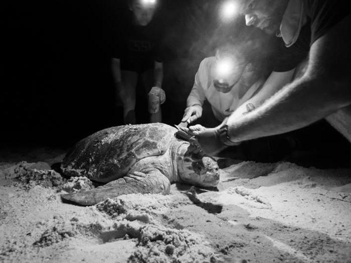 研究人员从一只赤蠵龟龟壳上采集为小动物。 这张照片摄于研究活动期间,该研究获得佛罗里达州鱼类与野生动物保育委员会的许可,前提是不能伤害赤蠵龟──正常情况下,搬动