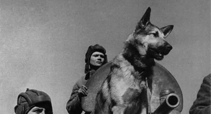 伟大卫国战争时期为战胜法西斯主义做出奉献的苏联红军军犬