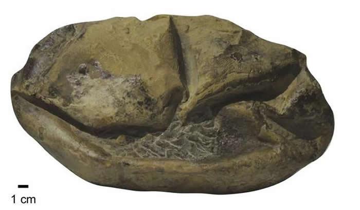 南极发现的软壳蛋化石,它被命名为Antarcticoolithus。图片来源:Legendre, L。 J。 et al。