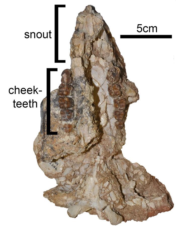 澳大利亚发现渐新世时期神秘新动物化石Mukupirna 大小为现代袋熊四倍
