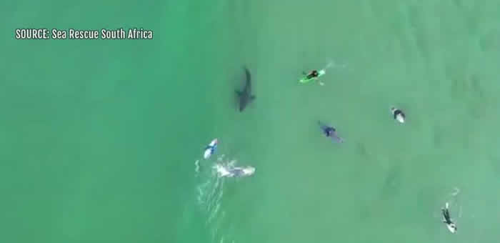 """南非航拍机拍到大白鲨游向冲浪客身边""""调查""""猎物等待下手"""