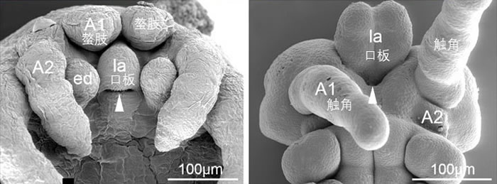 现生节肢动物胚胎。左图:蜘蛛;右图:蟋蟀(扫描电镜数据来自于刘煜2009年博士毕业论文)