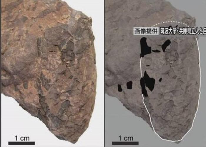 日本兵库县丹波市1.1亿年前白垩纪地层中发现世界上最小新品种恐龙蛋化石