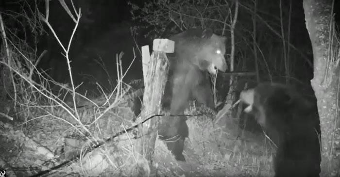 中俄边境犹太自治州老虎出没小道上安装的观测相机被两只打斗的熊损毁