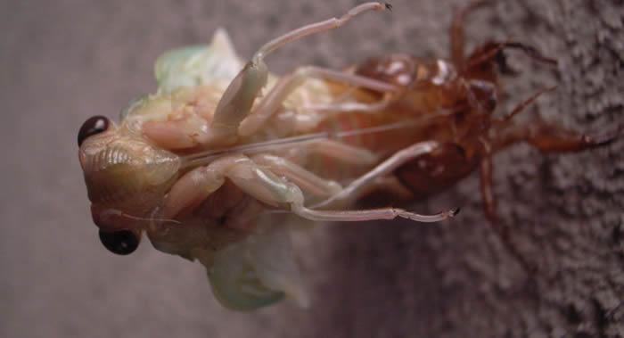 """不同寻常的真菌""""蝉团孢霉""""可以使蝉失去四肢 还会引发这种昆虫的反常行为"""