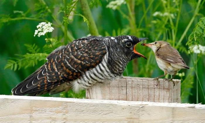 可恶大杜鹃将卵产在其他鸟类巢中让人家帮忙喂