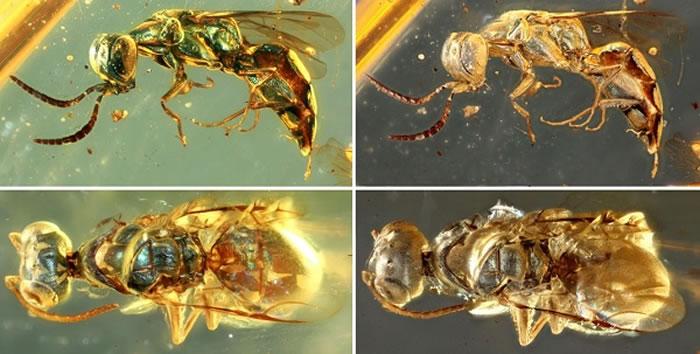 青蜂化石身体表面结构色变化前后的对比图