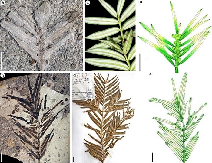 (a,b)中-晚侏罗世道虎沟生物群穗花杉化石; (c,d)现生穗花杉; (e,f) 中-晚侏罗世道虎沟生物群穗花杉化石重建图