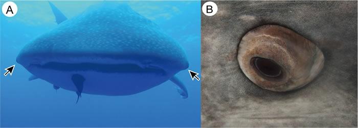 """世界上体型最大的鱼类鲸鲨(豆腐鲨)眼球上竟然全是细小的""""牙齿"""""""