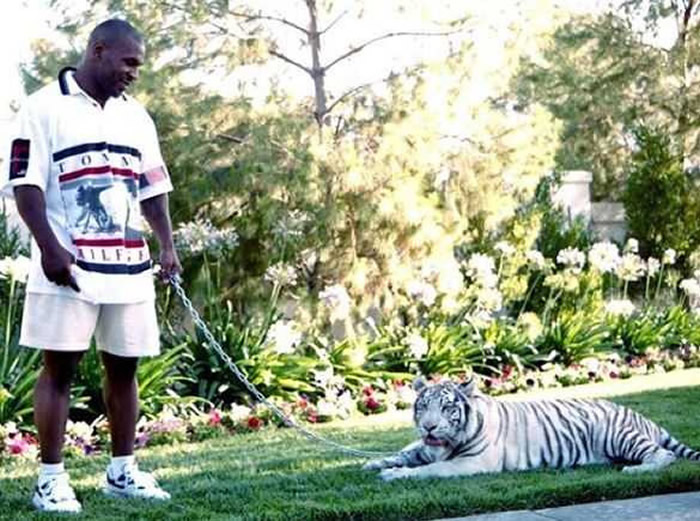 前美国重量级拳王泰森曾因宠物老虎误伤邻居赔25万美元