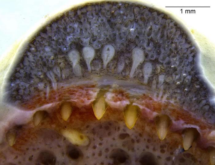 《iScience》杂志:科学家首次在两栖动物身上发现类似蛇的牙齿腺体证据