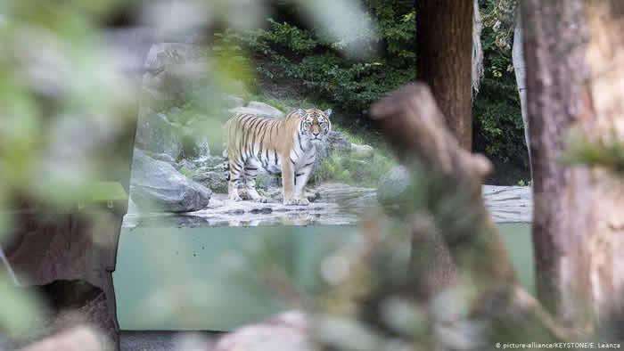 瑞士苏黎世动物园(Zurich Zoo)的5岁西伯利亚虎伊莉娜(Irina)攻击饲育员致死。图为园区内另一只西伯利亚虎萨扬(Sayan)事后出现在被封锁的围栏区