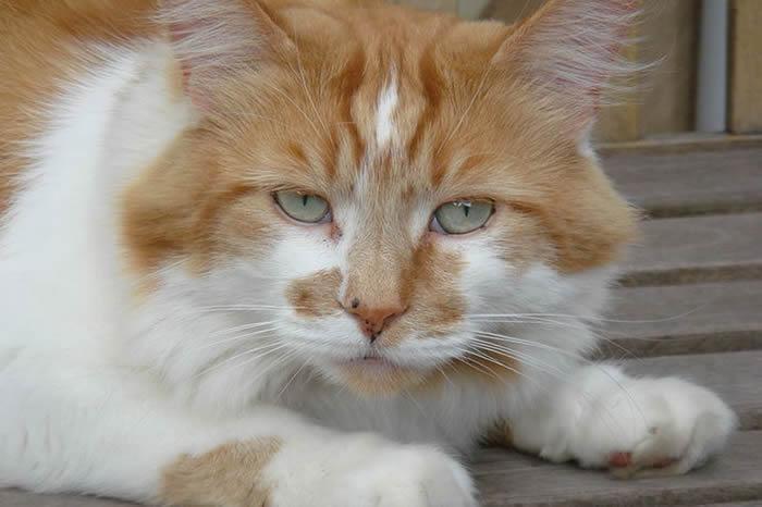 《吉尼斯世界纪录》世界最年长猫科动物:英国缅因猫Rubble相当于人类150岁
