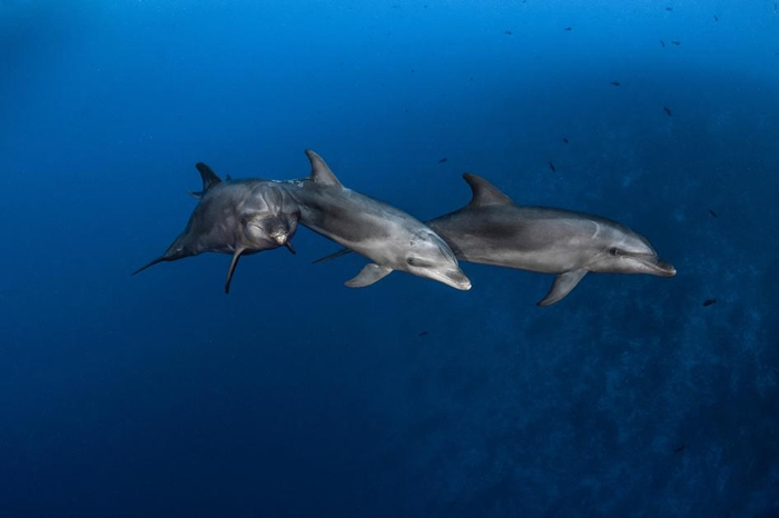 在法属玻里尼西亚伦吉拉海峡(Rangiroa Channel)狩猎的瓶鼻海豚。 这种海洋哺乳动物会使用两种工具来找食物,这在自然界是很少见的行为。 PHOTOG