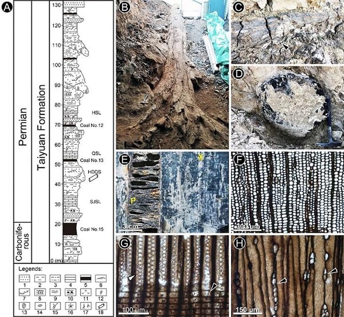 阳泉地区太原组地层柱状图(A)和巨型科达植物茎干形态(B-D)与解剖结构(E-H)