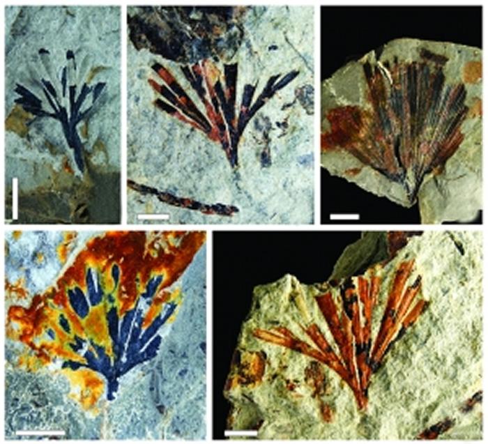 湖北秭归的银杏植物化石