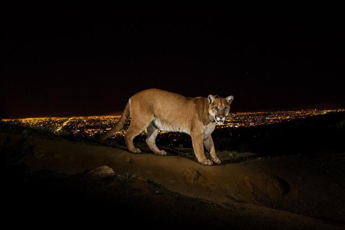 遥控相机在加州格里斐斯公园(Griffith Park)拍到了一只戴着无线电波项圈的山狮。 加州的山狮栖息在被几条大公路切得七零八落得环境中。 PHOTOGRA
