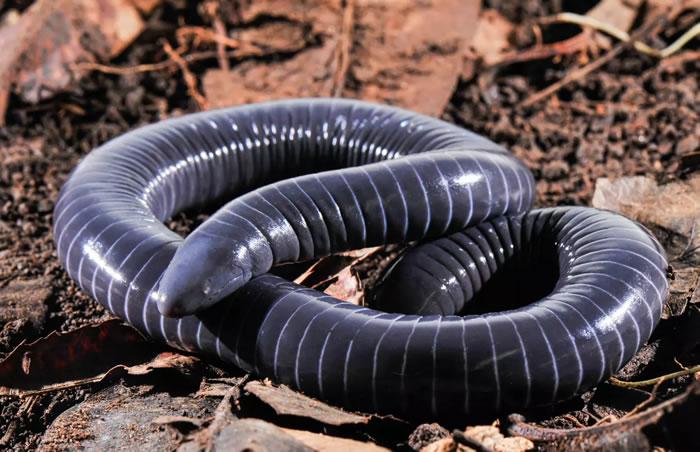 科学家发现第一种能像蛇一样分泌口腔毒液的两栖动物——蚓螈Siphonops annulatus