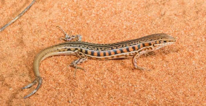 美国新墨西哥州Manzanita山脉发现三条尾巴的蜥蜴 科学家研究多尾蜥蜴在野外的普遍性
