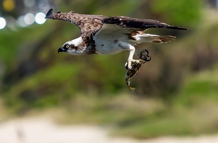 全世界许多地方都可发现鱼鹰踪迹,但英国60%的鱼鹰在繁殖前就因渔网缠绕和撞击电线而死。 照片来源:texaus1(CC BY 2.0)