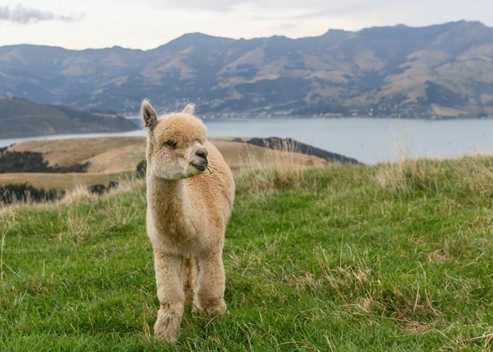 科学家声称在羊驼身上发现微小抗体 可能有助抑制新冠肺炎第二波疫情爆发