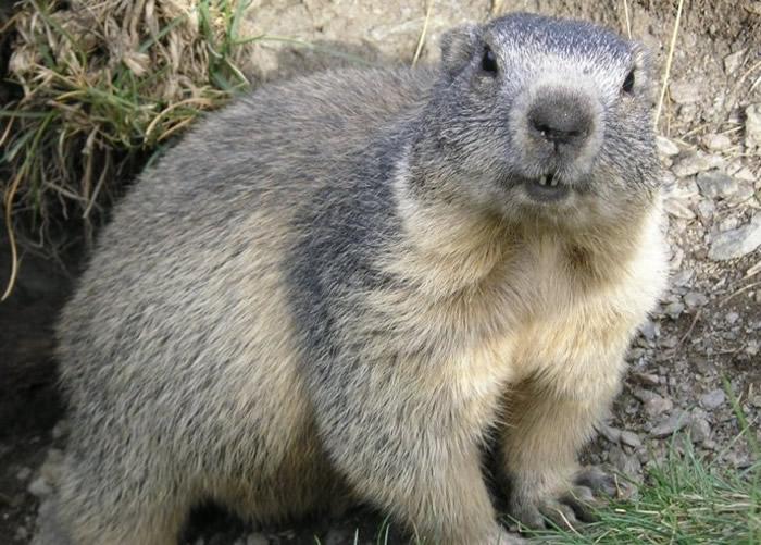 蒙古牧民非法捕食土拨鼠 确诊患鼠疫命危