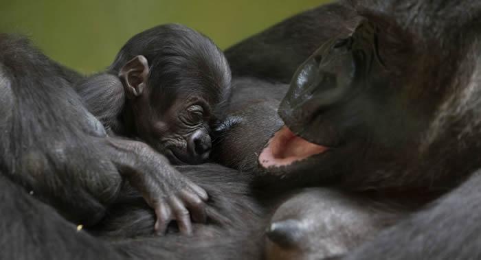 最为濒危稀有的克罗斯河大猩猩和幼崽首次被相机抓拍到